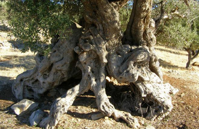 De beste olijfolie uit Kreta