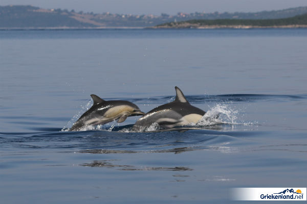 Sagapo de dolfijn van Griekenland.net